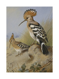 Hoopoes Giclee Print by Archibald		 Thorburn