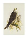 Saker Falcon Posters by Joseph Wolf