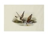 Spoonbill (Spoon-billed) Sandpiper Affiches par Henry Constantine Richter