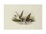 Spoonbill (Spoon-billed) Sandpiper Prints by Henry Constantine		 Richter