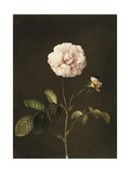 A Gallica Rose with a Bumblebee Prints by Barbara Regina		 Dietzsch