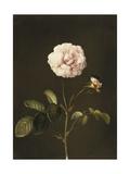 A Gallica Rose with a Bumblebee Prints by Barbara Regina Dietzsch