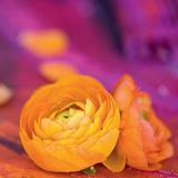 Orange Kissed Purple Poster