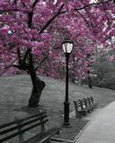 Central Park - Blossom Print