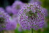 Purple Allium Flowers Plastic Sign Znaki plastikowe