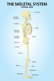 Skeletal System Lateral View Anatomy Plastic Sign Plastic Sign