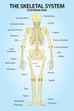 Skeletal System Plastic Posterior View Anatomy Print Poster Plastic Sign