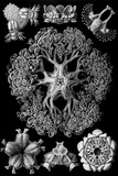 Ophiodea Nature Plastic Sign by Ernst Haeckel Plastic Sign