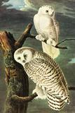 Audubon Snowy Owl Bird Plastic Sign Plastic Sign