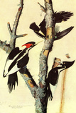Audubon Ivory-Billed Woodpecker Bird Plastic Sign Signes en plastique rigide