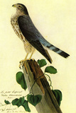 Audubon Pigeon Hawk Bird Plastic Sign Plastic Sign by John James Audubon