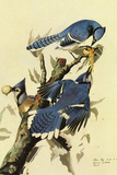 Audubon Blue Jay Bird Plastic Sign Plastic Sign by John James Audubon