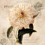 White Peony I Poster by Carol Robinson