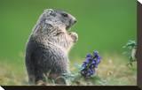 Alpine marmot (Marmota marmota) Stretched Canvas Print
