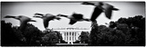 Theft of a Colony of Wild Geese over the White House South Lawn, Washington D.C, US, White Frame Photographic Print by Philippe Hugonnard