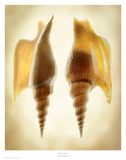 Listers Conch 2 Art by Richard Reynolds