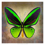 Common Green Birdwing Posters by Richard Reynolds