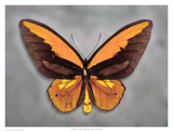 Wallaces Golden Birdwing Print by Richard Reynolds