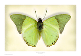 Common Green Charaxes Art by Richard Reynolds