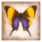 Pansy Daggerwing Posters by Richard Reynolds