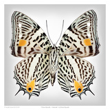 Clown Butterfly underside Posters by Richard Reynolds