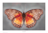 Common Red Glider Prints by Richard Reynolds