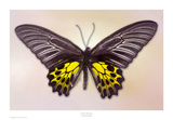 Golden Birdwing Prints by Richard Reynolds