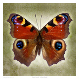 Peacock Butterfly Prints by Richard Reynolds