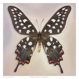 Madagascan Swallowtail Poster by Richard Reynolds