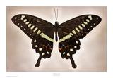 Papilio Lormieri Prints by Richard Reynolds