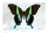 Green Swallowtail Prints by Richard Reynolds