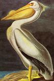 Audubon White Pelican Bird Poster Prints