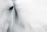 Caballo Blanco II Giclée-tryk af Shana Rae