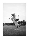 Breaking in a Pony Premium Photographic Print by Mario de Biasi