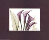 X-Ray Blackberry Calla Lily Prints by Albert Koetsier