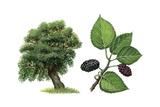 Black Mulberry (Morus Nigra) Giclee Print by Giglioli E.