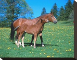 Freiberger mare with foal Stretched Canvas Print