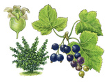 Blackcurrant (Ribes Nigrum) Giclee Print by Giglioli E.