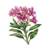Alpenrose Giclee Print by Giglioli E.