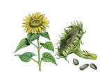 Sunflower (Heliantus Annuus) Giclee Print by Giglioli E.