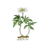Wood Anemone (Anemone Nemorosa) Giclee Print by Giglioli E.