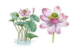 Lotus (Lotus Blomma, Nelumbo Nucifera) Giclee Print by Giglioli E.