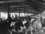 Military Cheese Factory, the Milking Photographic Print