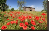 Poppy Field in front of a Country House on the Hills near Orvieto, Province of Terni, Umbria, Italy Stretched Canvas Print