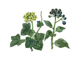 English Ivy (Hedera Helix) Giclee Print by Giglioli E.