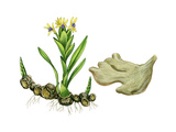 Ginger Root (Zingiber Officinalis) Giclee Print by Giglioli E.