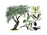 Olive (Olea Europaea) Giclee Print by Giglioli E.