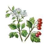 Hawthorn (Crataegus Oxyacantha) Giclee Print by Giglioli E.