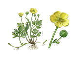 Creeping Buttercup (Ranunculus Repens) Giclee Print by Giglioli E.