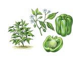 Peppers (Capsicum Annuum) Giclee Print by Giglioli E.